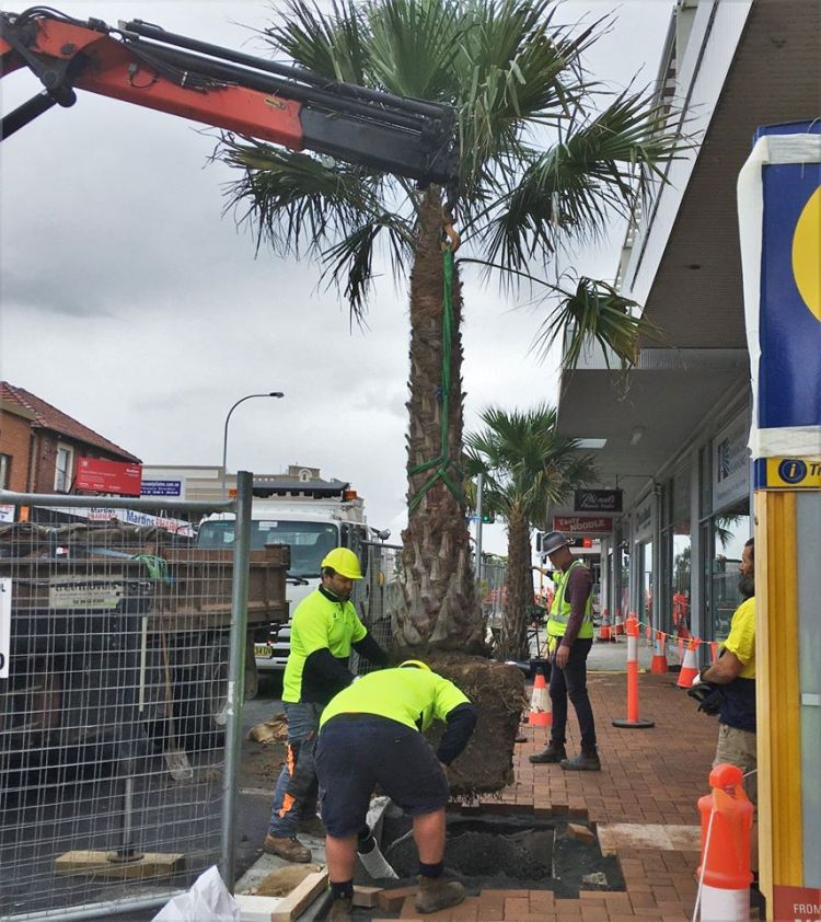 Palm TRees Corrimal Shopping Centre April 2020